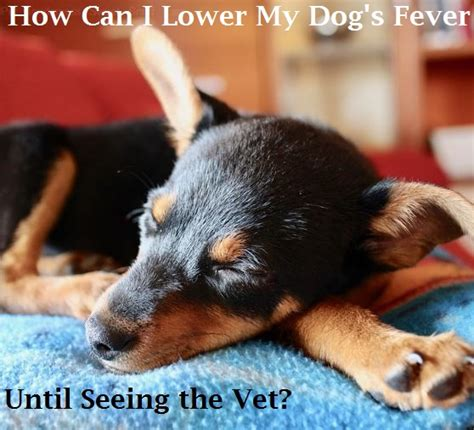 can dogs fevers how can i lower my s fever until seeing the vet dogs health problems
