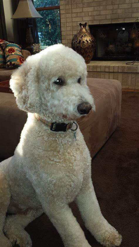 standard poodle puppy cut 1000 ideas about poodle cuts on poodles standard poodles and poodles