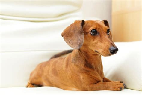 low maintenance small dogs easy pets to take care of top 9 low maintenance dogs hi5dog