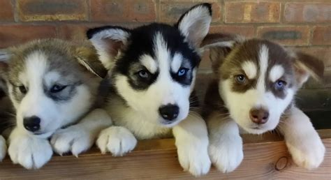 malamute husky puppies for sale husky malamute puppies for sale newcastle lyme staffordshire pets4homes