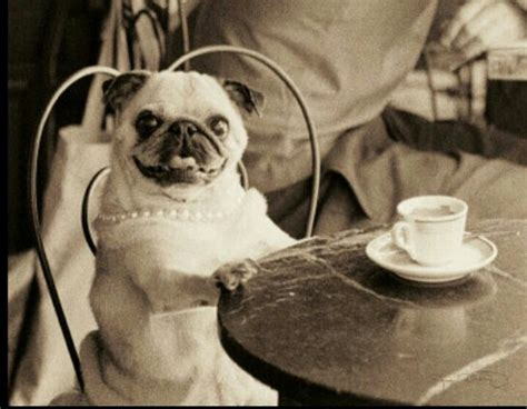retro pugs vintage pug woof and meow