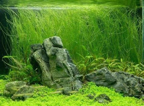 Bucephalandra Kota Batu Tanaman Hias Aquascape jual tanaman hairgrass vivipara panjang bibit