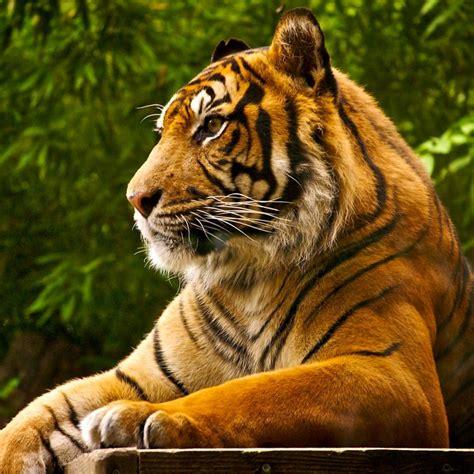 wallpaper laptop harimau tiger hd wallpaper 4432
