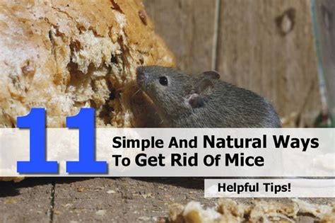 11 simple and ways to get rid of mice