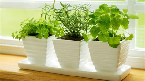 easy herbs to grow inside 10 famous and easy herbs to grow indoor during winter make