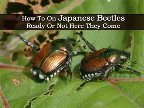 how to on japanese beetles ready or not here they come garden pest disease control