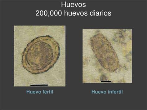 alimentos que provocan migra a ascaris lumbricoides y trichuris trichiura