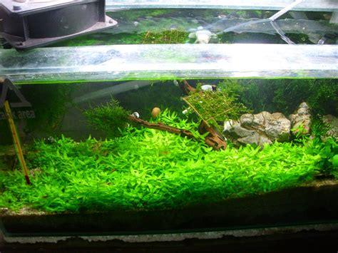 Terbatas Tanaman Aquascape Bolbitis Heudolitii tanaman cepet ngarpet untuk aquascape shrimp on the road