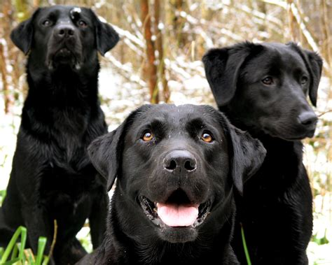labrador dogs labrador retriever puppies hd wallpaper animals wallpapers