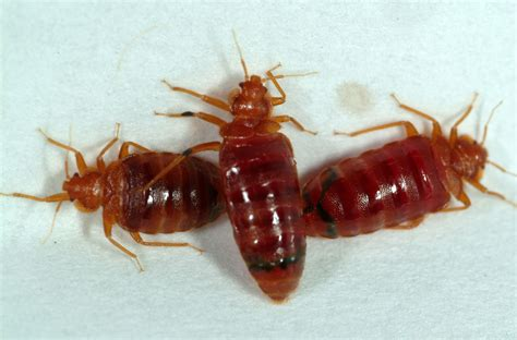 bed bugs pesticide nmsu researcher some bed bugs show resistance to
