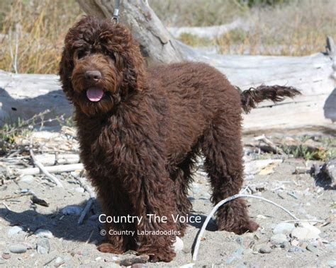 chocolate labradoodle puppies chocolate pups arriving soon labradoodles