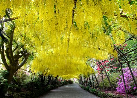 Bodnant Garden Laburnum Arch Laburnum Arch Bodnant Garden Photograph By Oreilly