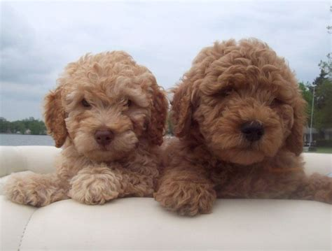 mini goldendoodle puppies miniature goldendoodle puppies babies and pets