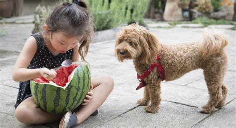 can dogs cantaloupe can dogs cantaloupe and other types of melon the happy puppy site