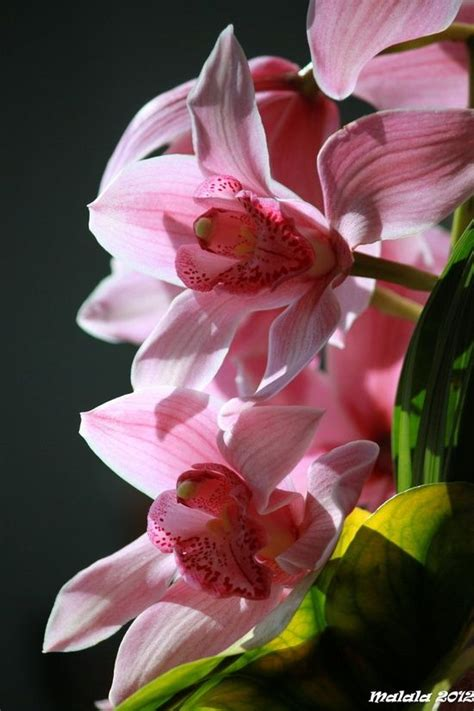 Cattleya Pinkpeach 1000 images about orchids and lilies on