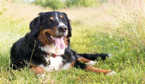 the best food for dogs what s the best food for bernese mountain dogs herepup