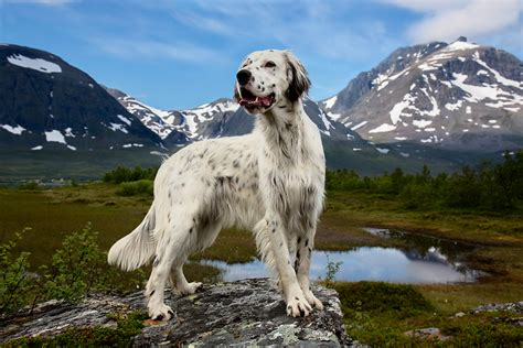 english setter working dog photographer andrew fladeboe gives dignity to working dogs