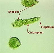 Best 25 ideas about labeled microscope find what youll love euglena under microscope labeled ccuart Images