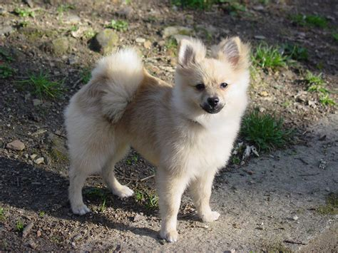 kinds of pomeranian dogs breeds pomeranian