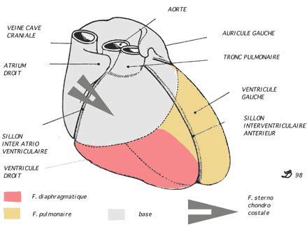 sillon interventriculaire mediastin anterieur
