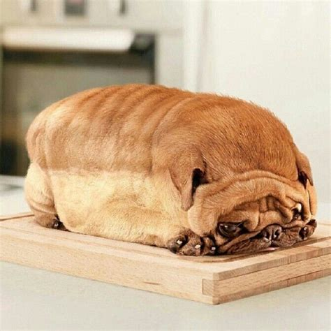 pug bread loaf that looks like pug that looks like a loaf of bread breeds picture 17 best images about pugs of the universe on mona puppys and pugs