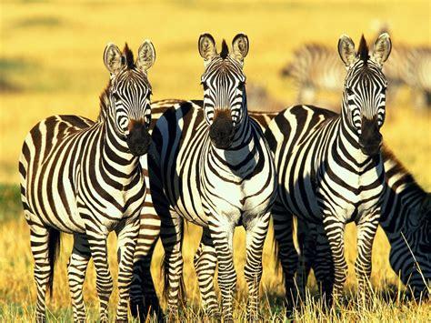 google wallpaper zebra zebra wallpaper free computer beautiful desktop