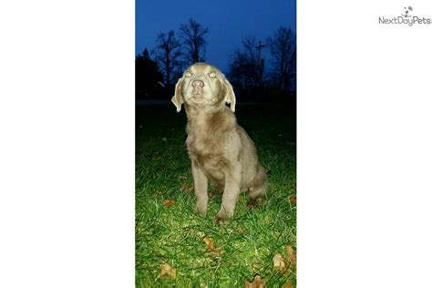 free lab puppies in indiana silver labrador puppies for sale in ohio breeds picture