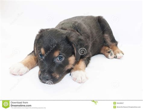 small black puppy small black puppy with brown spots looks sad royalty free stock photography image