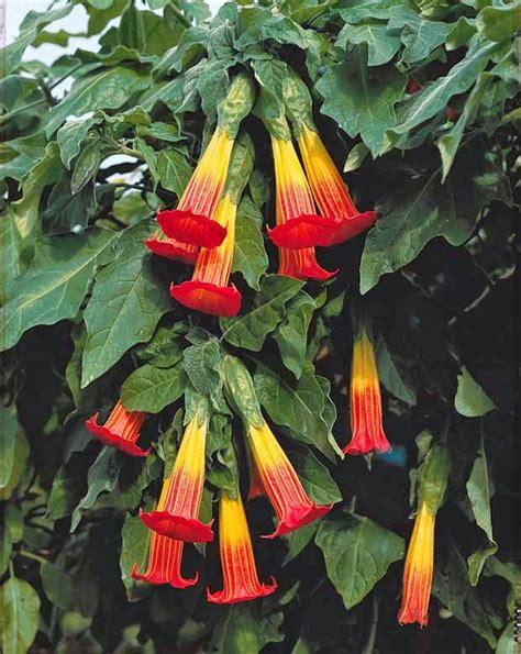 angel trumpet plants how to grow brugmansia the s trumpet the garden of eaden