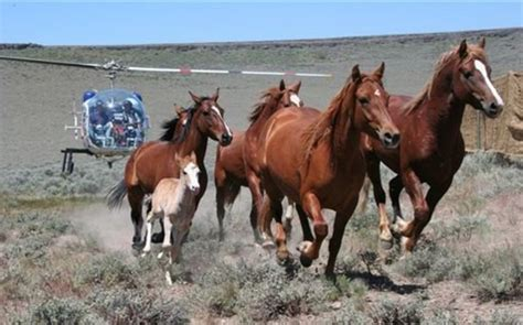 blm mustang roundup blm secret plan to destroy horses