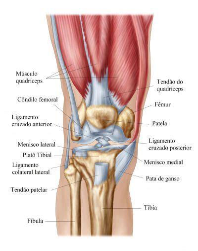 menisco interno anatomia do joelho ligamentos articula 231 227 o m 250 sculos e