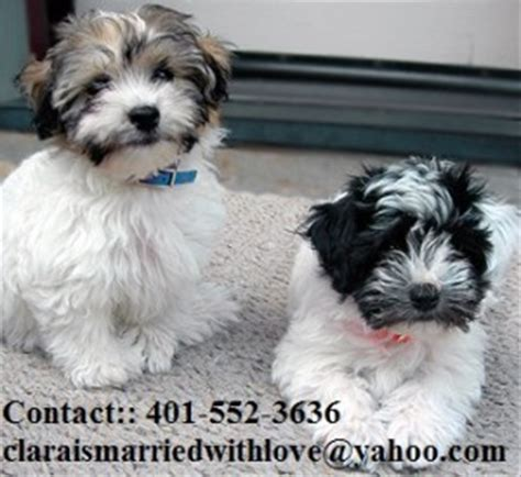 havanese puppies for adoption dogs san antonio tx free classified ads