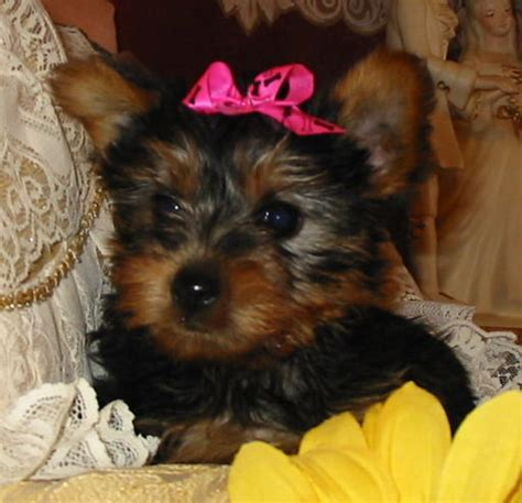teacup yorkie puppies for sale in australia lovely and teacup yorkie puppies for adoption townsville dogs for