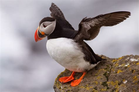 atlantic puffin wild life world