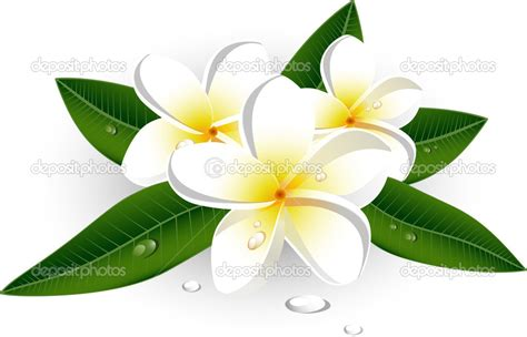 plumeria vector 11 frangipani vector free images water lily vector
