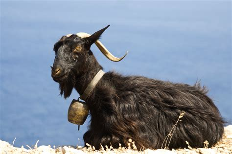 black goat black goat tonic topiclessbar