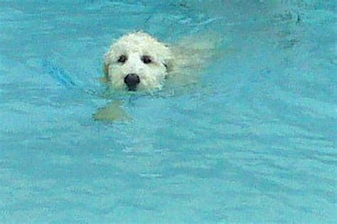 doodle swimming labradoodle puppy for sale goldendoodle puppy for sale