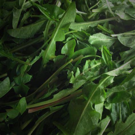 cucinare il tarassaco raccogliere e cucinare il tarassaco erbe e piante officinali