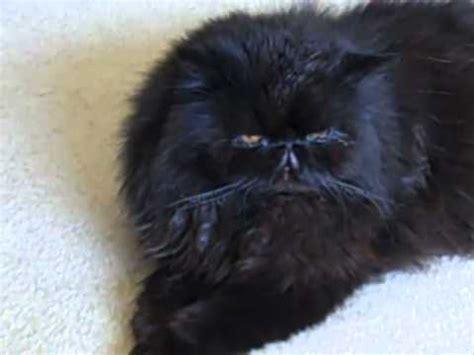 black persian cat coco speaks italian to me youtube