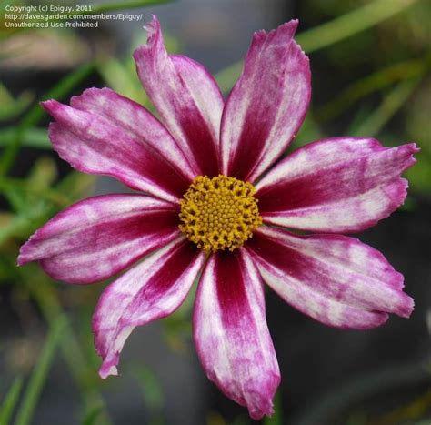 awesome looking flowers coreopsis cosmic evolution www imgkid com the image
