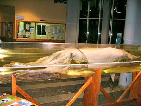 calamares gigantes del mito y la leyenda a la realidad los verdaderos or 237 genes del legendario kraken ancient