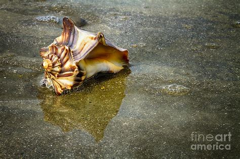Knobbed Welk by Knobbed Whelk 11 Botany Bay Photograph By Carrie Cranwill