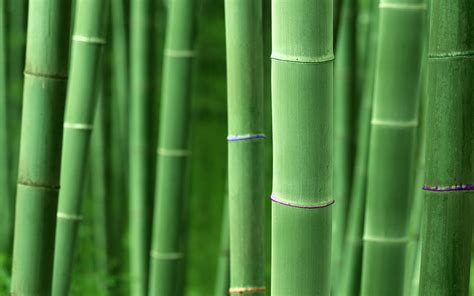 hd bamboo plant wallpapers desktop wallpapers