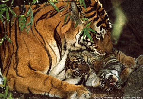 facts about the new year tiger interesting facts about tigers just facts