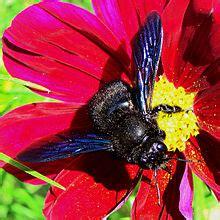 insetto nero volante xylocopa violacea