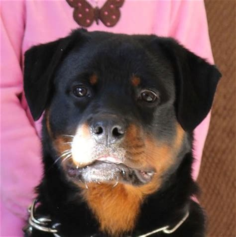 rottweiler ears taping pups ears meisterhunde rottweilers high quality german rottweiler breeder