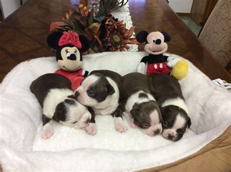 puppies for sale in bakersfield puppies for sale boston terrier boston terriers bostons f category in