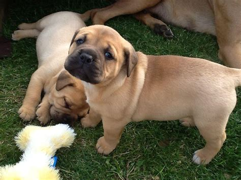 bullmastiff puppies for free bullmastiff puppies available for sale durban ads south africa