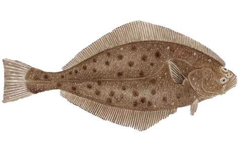 halibut fish fishing charter recipe california pacific