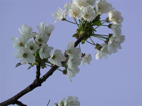 cherry tree ornamental file ornamental cherry tree blossom jpg wikimedia commons